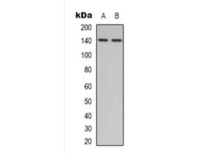 NOS3 antibody