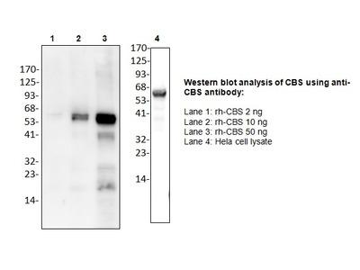 Cystathionine β-Synthase Antibody