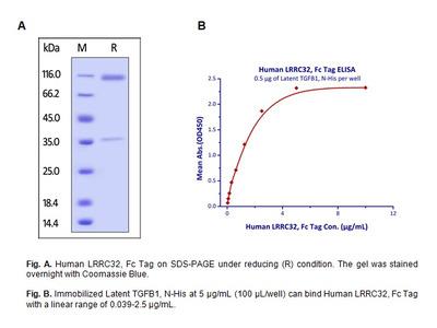 Human CellExp™ LRRC32 / GARP, Fc Tag, Human Recombinant