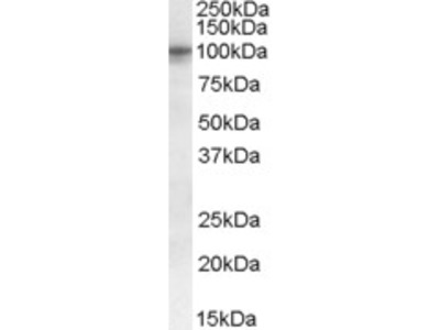 Goat anti-TAS1R2 / GPR71 Antibody