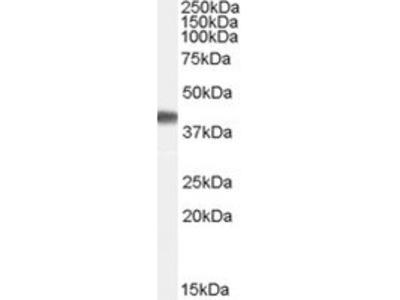 Goat anti-PPID / CyP-40 Antibody