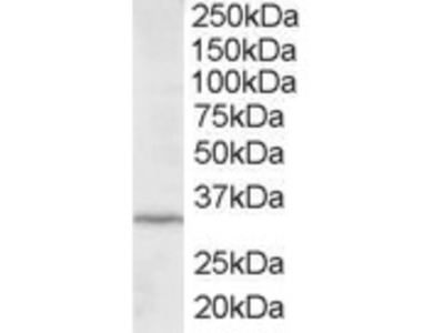 Goat anti-ING2 / ING1L Antibody