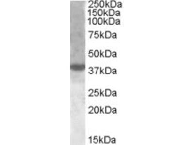 Goat anti-XBP1 / TREB5 Antibody