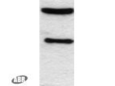 C/EBP alpha Polyclonal Antibody