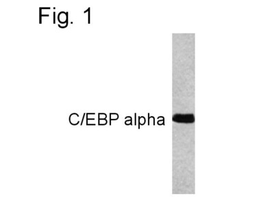 C/EBP alpha Monoclonal Antibody (15C8)