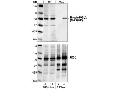 Phospho-PKCζ/λ (Thr410/403) Antibody