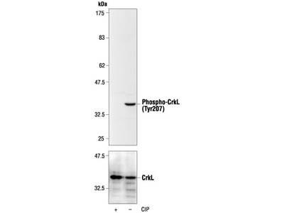 Phospho-CrkL (Tyr207) Antibody