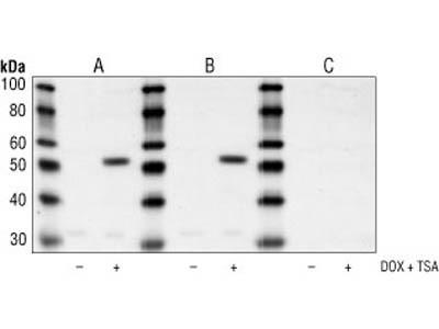 Acetyl-p53 (Lys382) Antibody