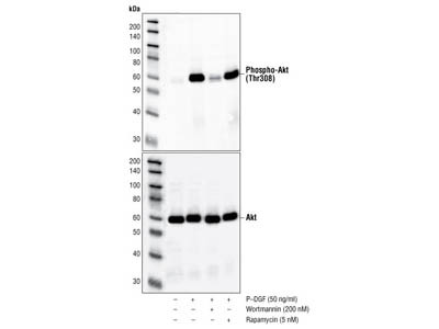 Perfect Total AKT Antibody