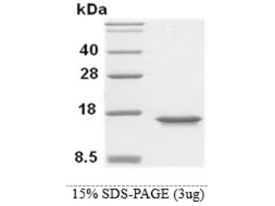 MIF (amino acids 1-115) Human,Recombinant, His-tag, E Coli