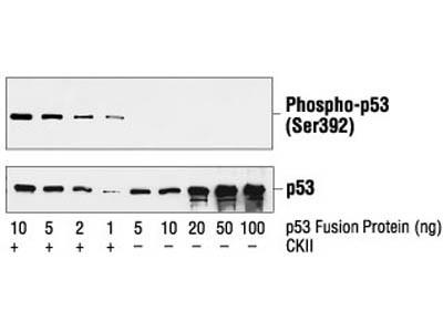 Phospho-p53 (Ser392) Antibody