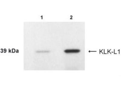 Kallikrein 4 /Prostase /EMSP1 Antibody