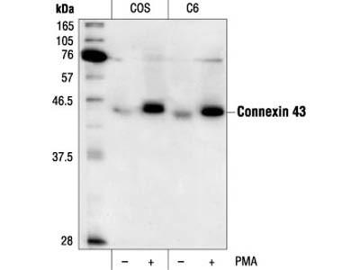 Phospho-Connexin 43 (Ser368) Antibody