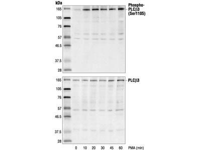 Phospho-PLCbeta3 (Ser1105) Antibody
