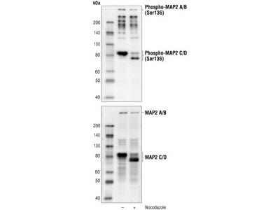 Phospho-MAP2 (Ser136) Antibody
