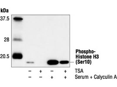 Antibody Stains Actively Proliferating Cells Well