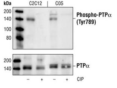 Phospho-PTPα (Tyr789) Antibody