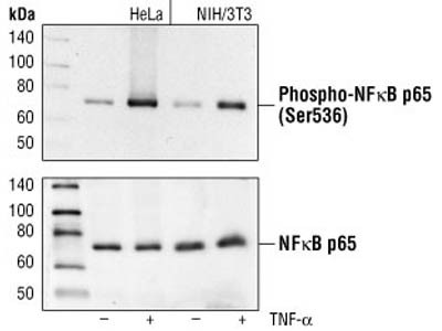 Phospho-NF-kB p65 Antibody Great for Western Blotting from CST