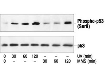 Phospho-p53 (Ser9) Antibody