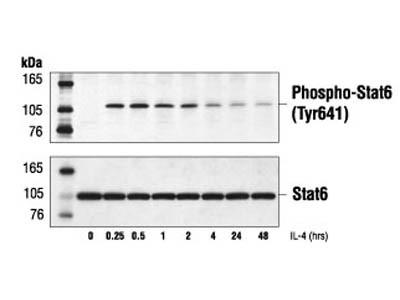 Good phospho STAT6 Antibody