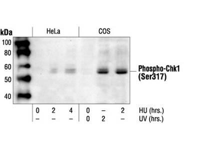 Phospho-Chk1 (Ser317) Antibody
