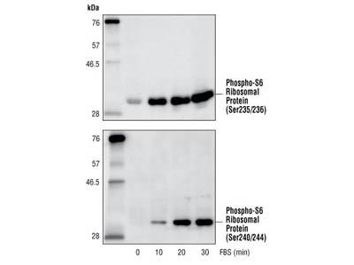 Phospho-S6 Ribosomal Protein (Ser240/244) Antibody