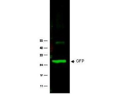 Immunoprecipitation of GFP-fusion protein