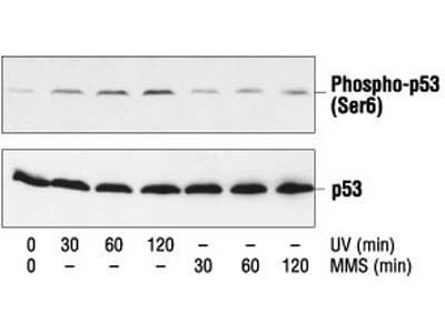 Phospho-p53 (Ser6) Antibody