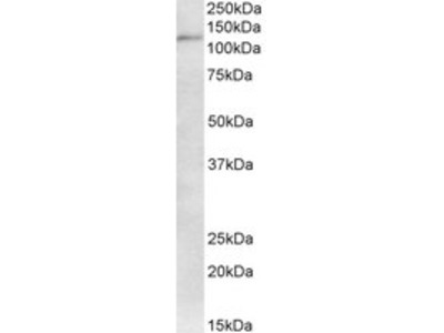 Goat anti-KAP1 / TRIM28 Antibody