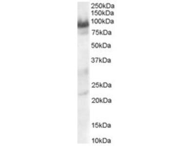 Goat anti-OIP106 / TRAK1 Antibody