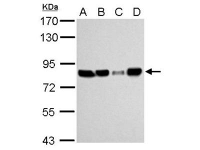 hHpr1-p84-Thoc1 Antibody (5E10)