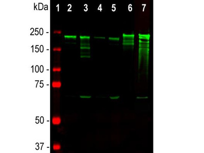 Mouse Monoclonal NF-H Antibody