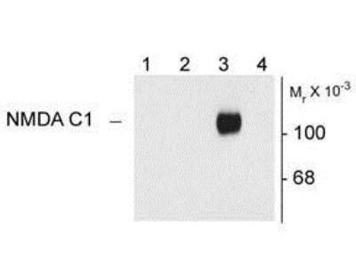 NMDA R, NR1 Subunit Antibody