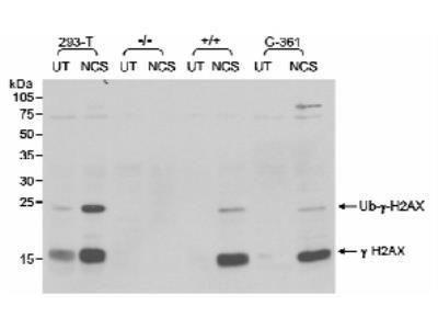 Rabbit Polyclonal gamma H2AX Antibody
