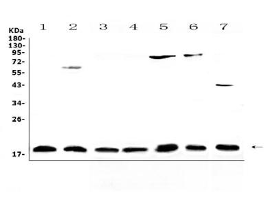 Anti-IL23/IL23A Antibody Picoband
