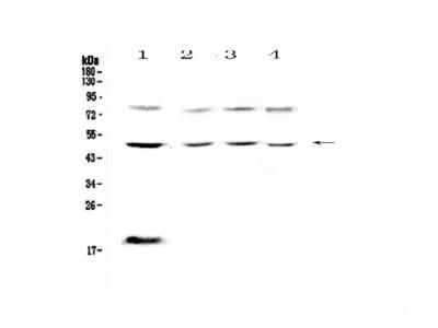 Anti-FCGR1A Picoband Antibody