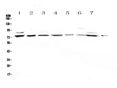 Anti-E74 like factor 1/ELF1 Picoband Antibody
