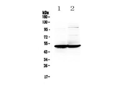Anti-GFAP Picoband antibody