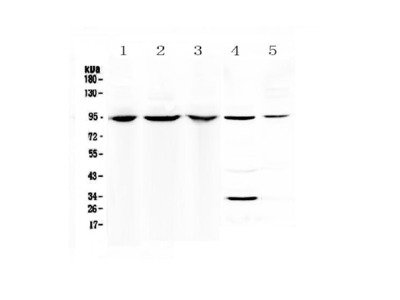 Anti-Complement C7 Antibody Picoband