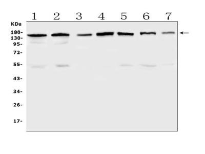 Anti-PER3 Antibody Picoband