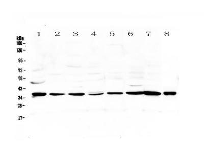 Anti-Thrombopoietin/THPO Antibody Picoband