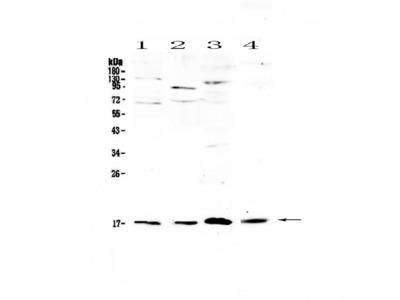 Anti-IL1F10 Picoband Antibody