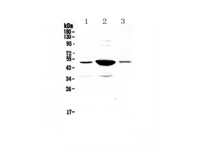 Anti-PAI1/Serpine1 Picoband Antibody
