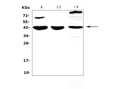 Anti-IL18 binding protein/Il18bp Picoband Antibody