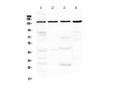 Anti-TRPC4 Picoband Antibody