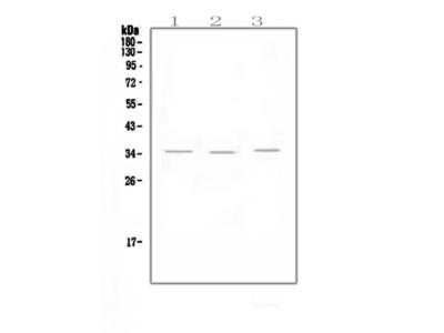 Anti-NKG2D/KLRK1 Picoband Antibody