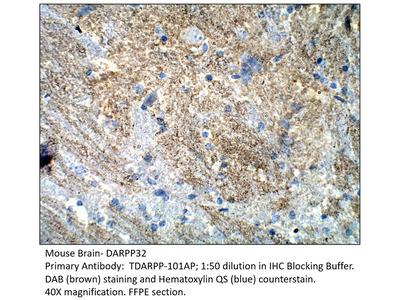 DARPP32 Antibody