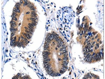 CEBPG / CEBP Gamma Polyclonal Antibody