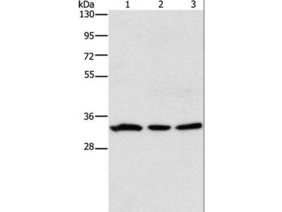 GPA33 / A33 Antibody