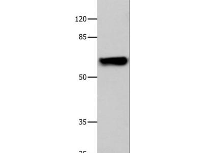 CNGA2 Antibody